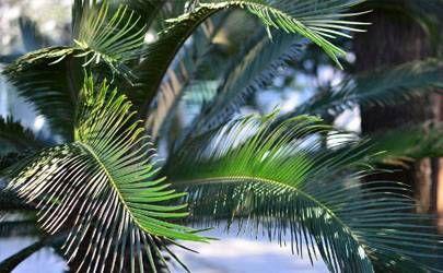 龙铁树的风水作用 龙铁树的风水禁忌